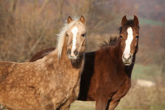 Two horses looking at you Stock Photos