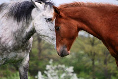 Two horses love Royalty Free Stock Photography