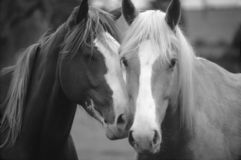 Two Horses Loving. Black and White photo of two horses in Love nudging each other Royalty Free Stock Photography