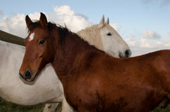 Two horses loving stock photography