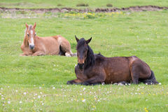 Two horses lying on the meadow Royalty Free Stock Photos
