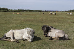 Two horses lying in a meadow. Stock Image
