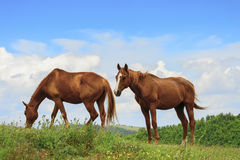 Two horses in Marche Stock Image