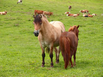Two horses in a meadow Royalty Free Stock Photo