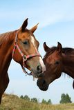 Two horses on the meadow Stock Image