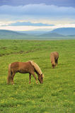Two horses at the meadow. Two horses pastures at green meadow in Iceland Stock Photo