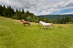 Two horses on the meadow. Two beautiful stallions on the green meadow, is full of freedom Stock Photography