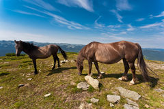 Two horses on the meadow. Beautiful stallions on the green meadow, with deep blue sky Royalty Free Stock Photos