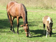 Two horses royalty free stock photography