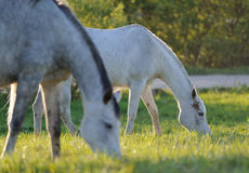 Two horses on the meadow. Two arabian horses on the meadow royalty free stock photos
