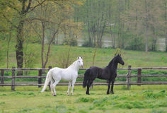 Two horses on the meadow Stock Images
