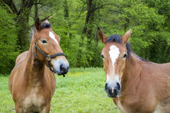Two horses in the meadow. Two brown horses in the meadow Royalty Free Stock Photos