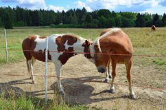 Two horses in meadow Royalty Free Stock Photo