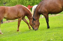Two horses in the meadow royalty free stock images