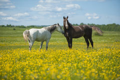 Two horses on the meadow Royalty Free Stock Images