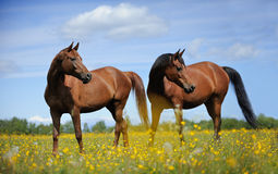Two horses on the meadow Royalty Free Stock Image