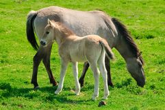 Two horses on a meadow, mare and her foal. Mare and her foal on a meadow Stock Photography
