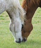 Two horses in the meadow. Two horses in the summer meadow stock photos
