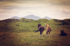 Two horses in the meadows with mountains in background. UK Royalty Free Stock Photo