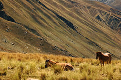 Two horses in the middle of fields. Peru - Chavin royalty free stock photos