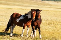 Two horses in mongolia Royalty Free Stock Photos