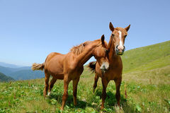 Two horses in mountain Stock Photo