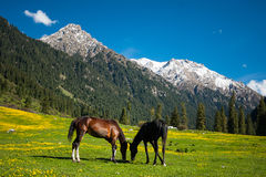 Two horses in a mountain field Royalty Free Stock Images