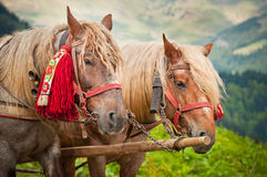 Two horses in the mountains, headshot. Two horses with traditional Romanian accessories. Very sharp shot, lots of detail Royalty Free Stock Images