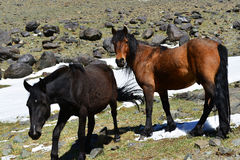 Two horses in the mountains Stock Image