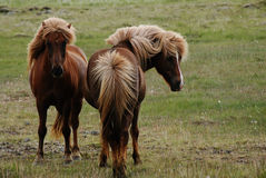 Two horses in Myrar area, Iceland Royalty Free Stock Photo
