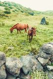 Two horses in natural environment eating green grass - Jeju island, South Korea. Two horses in natural environment eating organic grass - Jeju island, South Stock Photography