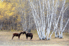 Two horses necking beside birch woods in autumn Stock Photos