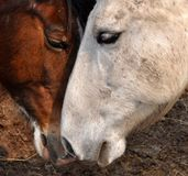 Two Horses Nuzzling. Shiloh and Dixie, a paint and a dapple gray showing each other affection Stock Photos