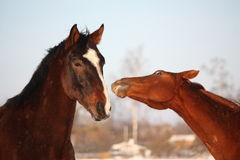 Two horses nuzzling each other Royalty Free Stock Photo