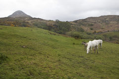 Two horses and one foal grazing within Connemara National Park Royalty Free Stock Photos