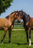 Two Horses One Head Royalty Free Stock Photos