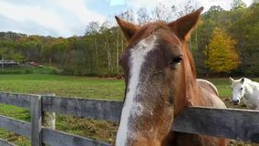 Two horses one with head over fence. Two horses one brown one white looking over a fence in fall stock video