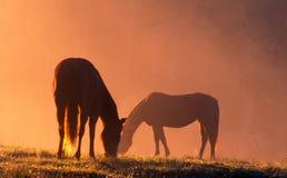 Two horses in orange sunrise color feeding. Royalty Free Stock Photos