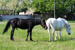 Two Horses out at Feed Royalty Free Stock Images