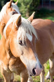 Two horses Royalty Free Stock Images