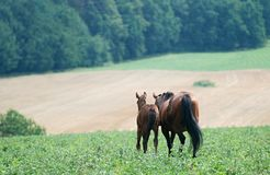 Two horses in pasture. Mare with her foal in pasture Royalty Free Stock Image