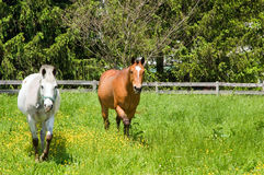 Two horses in pasture. A view of two horses grazing in a small field or pasture Royalty Free Stock Photo