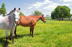Two horses in pasture. A view of two horses grazing in a small field or pasture Royalty Free Stock Image