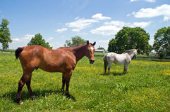 Two horses in pasture. A view of two horses grazing in a small field or pasture Royalty Free Stock Photography