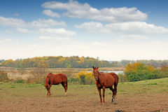 Two horses on pasture Stock Photo