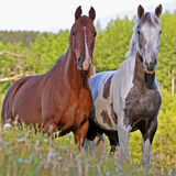 Two Horses at pasture Royalty Free Stock Photography