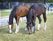 Two horses in the pasture Stock Photo
