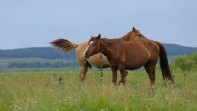 Two horses on pasture. Two horses on the green pasture stock video
