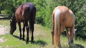 Two horses in pasture. Two horse pasturing in grassland near edge of a wood stock footage