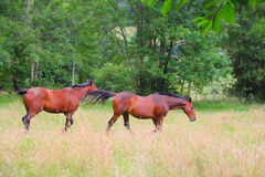 Two horses on the pasture Royalty Free Stock Photo